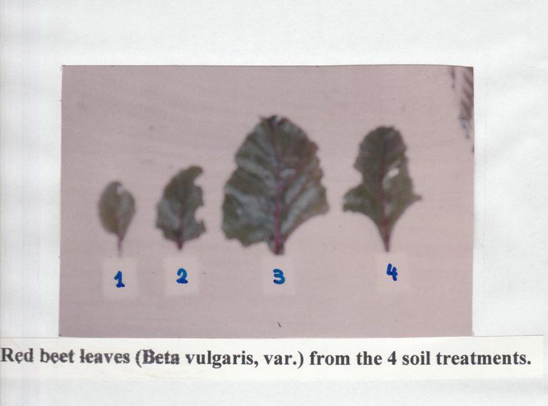 red-beet-leaves
